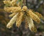 Mesquite Flower