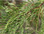 Mesquite Leaves